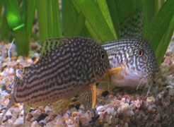 Reproduction corydoras